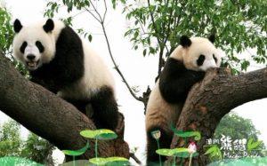 panda di kota macau